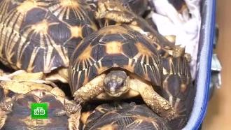Контрабандисты пытались провезти 300 черепах под видом камней