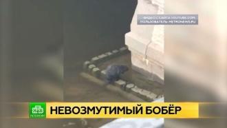 Петербургскую Фонтанку обживает невозмутимый бобер