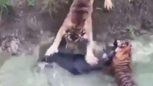 В китайском зоопарке тиграм скормили живого осла.Китай, жестокость, животные, зоопарки, тигры.НТВ.Ru: новости, видео, программы телеканала НТВ
