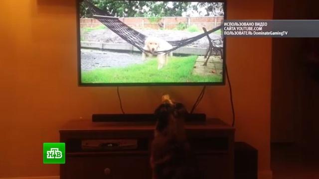 Собака-телезритель по кличке Хайди покорила интернет-аудиторию.Интернет, животные, собаки.НТВ.Ru: новости, видео, программы телеканала НТВ