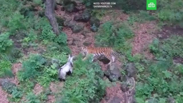 «Жена» тигра Амура отказалась есть козла Тура.Приморье, животные, зоопарки, тигры.НТВ.Ru: новости, видео, программы телеканала НТВ