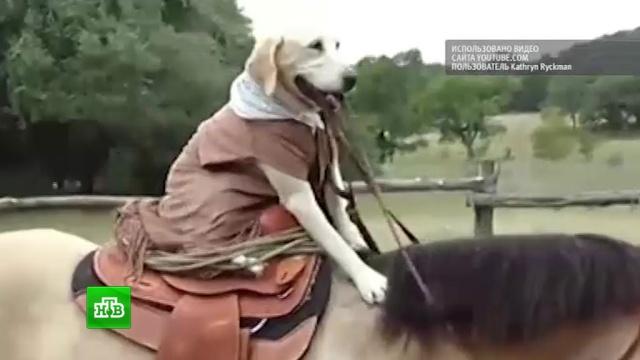 Техасский пес-ковбой покорил пользователей Интернета.Интернет, США, животные, курьезы, собаки.НТВ.Ru: новости, видео, программы телеканала НТВ