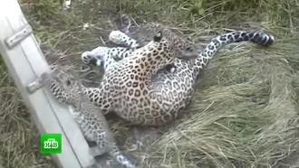 Кавказские зоозащитники в рамках экспедиции узнали о судьбе пропавшего леопарда