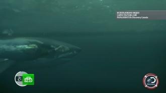 Гонку Майкла Фелпса и акулы высмеяли в Интернете