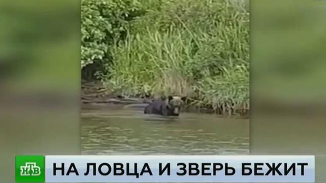 Голодный медведь лишил улова сахалинских браконьеров.медведи, рыба и рыбоводство, Сахалин, курьезы, браконьерство, животные.НТВ.Ru: новости, видео, программы телеканала НТВ
