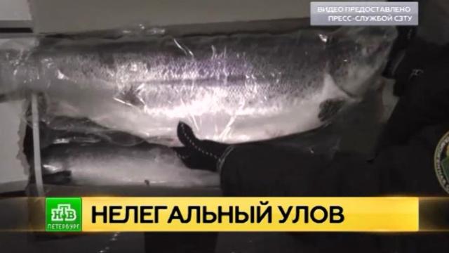 Питерская таможня задержала десятки тонн «замаскированной» санкционной рыбы.Санкт-Петербург, продукты, рыба и рыбоводство, санкции, таможня.НТВ.Ru: новости, видео, программы телеканала НТВ