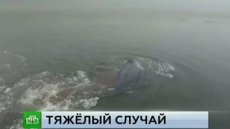 Защитники природы рискуют жизнью ради спасения застрявшего вустье реки кита