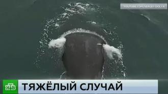 «Устал и громко вздыхает»: очевидец рассказал о состоянии попавшего в ловушку кита