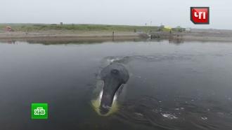 Застрявший вустье реки кит на прощание «поблагодарил» своих спасителей