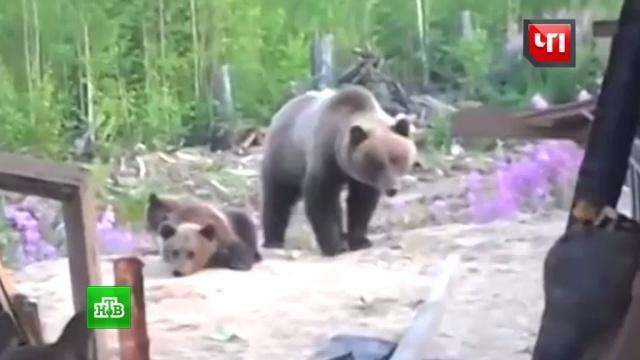 Выживший: уральский грибник отбился от разъяренной медведицы голыми руками.Урал, животные, медведи.НТВ.Ru: новости, видео, программы телеканала НТВ