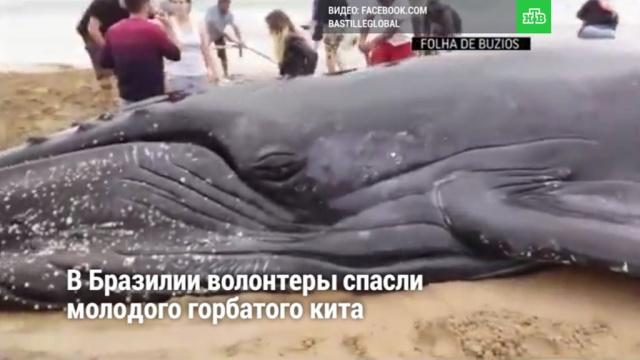 ВБразилии волонтеры спасли молодого горбатого кита.НТВ.Ru: новости, видео, программы телеканала НТВ
