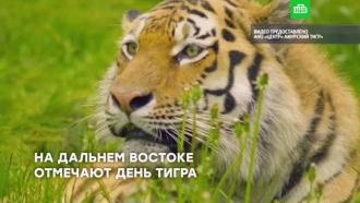 День тигра отмечают на Дальнем Востоке