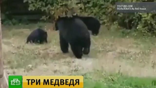 Забравшиеся во двор канадца медведи прислушались к вежливой просьбе уйти.животные, Канада, медведи, курьезы.НТВ.Ru: новости, видео, программы телеканала НТВ