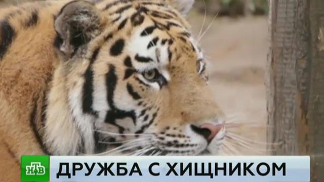 Полицейские навестили спасенного от смерти в Китае тигра.браконьерство, животные, зоопарки, полиция, тигры.НТВ.Ru: новости, видео, программы телеканала НТВ