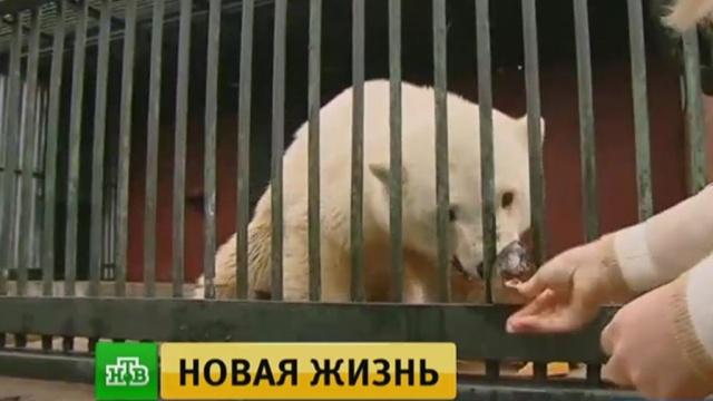 Спасенного вЯкутии белого медвежонка на месяц поместят взоопитомник.Якутия, животные, зоопарки, медведи.НТВ.Ru: новости, видео, программы телеканала НТВ