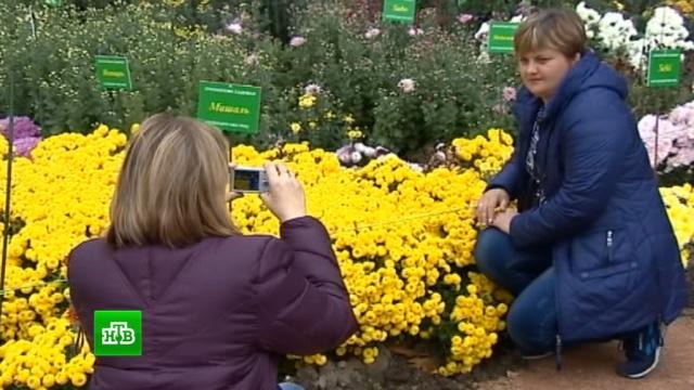 ВЯлте проводят Бал хризантем.Ялта, цветы.НТВ.Ru: новости, видео, программы телеканала НТВ
