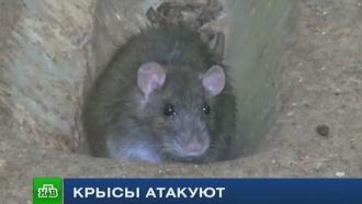 Возможноли избавиться от крыс вкрупных городах: мнение экспертов
