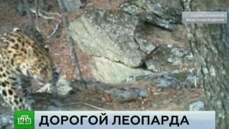 ВПриморье открыли фотоохоту на краснокнижных леопардов