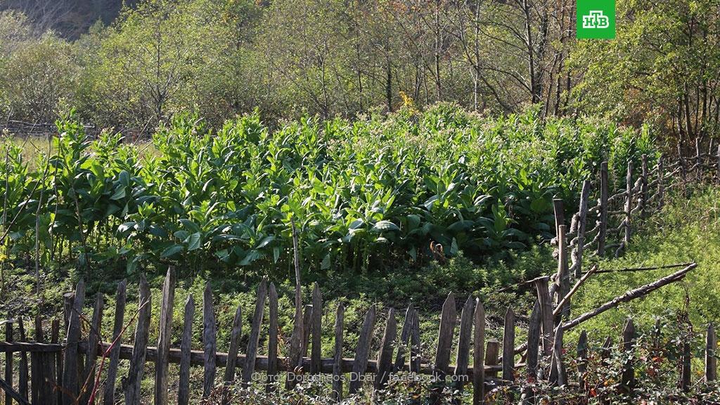 как выращивать махорку