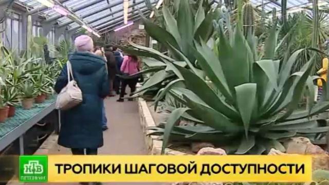 В Петербурге впервые зацветает кубинская агава.Санкт-Петербург, растения, цветы.НТВ.Ru: новости, видео, программы телеканала НТВ