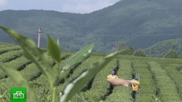 Россельхознадзор запретил ввоз вРоссию продукции растениеводства из Шри-Ланки.Россельхознадзор, Шри-Ланка, насекомые, растения.НТВ.Ru: новости, видео, программы телеканала НТВ
