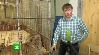 Владельцы рассказали о рационе толстых львиц из Владивостока