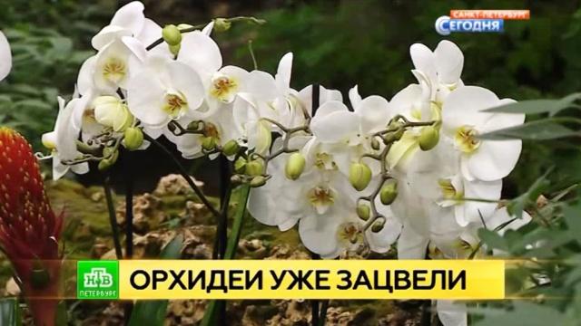 В Петербурге тепличные орхидеи проснулись и расцвели к Новому году.Санкт-Петербург, растения, цветы.НТВ.Ru: новости, видео, программы телеканала НТВ