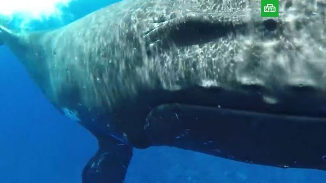 Горбатый кит спас женщину от тигровой акулы.животные, киты, океан.НТВ.Ru: новости, видео, программы телеканала НТВ