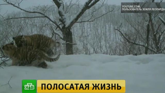 Ученые получили редкие кадры из жизни семьи амурских тигров.Приморье, тигры, животные.НТВ.Ru: новости, видео, программы телеканала НТВ