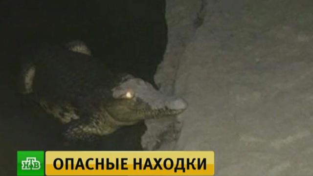 Найденный впитерском подвале крокодил оказался «хранителем» самодельных бомб.Санкт-Петербург, животные, крокодилы.НТВ.Ru: новости, видео, программы телеканала НТВ