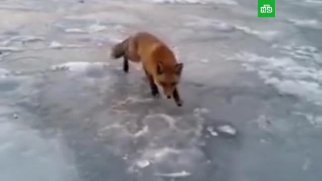 Рунет очарован роликом с кормящим лисицу рыбаком.Владивосток, Приморье, животные, охота и рыбалка.НТВ.Ru: новости, видео, программы телеканала НТВ