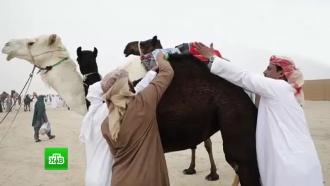 Накачанных ботоксом верблюдов выгнали сконкурса красоты вСаудовской Аравии