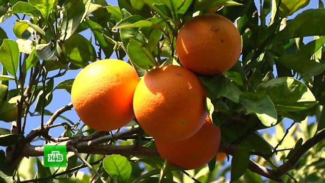 В Латакии стартовал сезон сбора апельсинов и мандаринов.войны и вооруженные конфликты, сельское хозяйство, Сирия.НТВ.Ru: новости, видео, программы телеканала НТВ