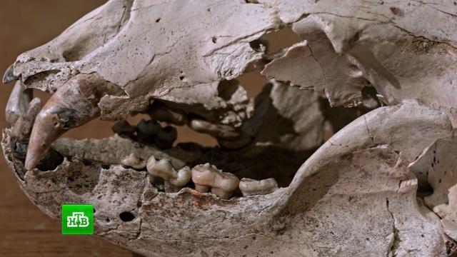 Тайны подземелья: в Ботовской пещере нашли скелеты древних животных.Иркутская область, история, наука и открытия, палеонтология, пещеры.НТВ.Ru: новости, видео, программы телеканала НТВ