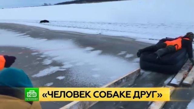 Дрейфовавшую на льду Финского залива собаку спасли с помощью надувного матраса.Ленинградская область, Финский залив, животные, собаки.НТВ.Ru: новости, видео, программы телеканала НТВ