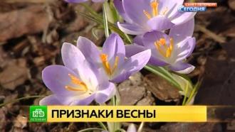В петербургском Ботсаду распустились первоцветы