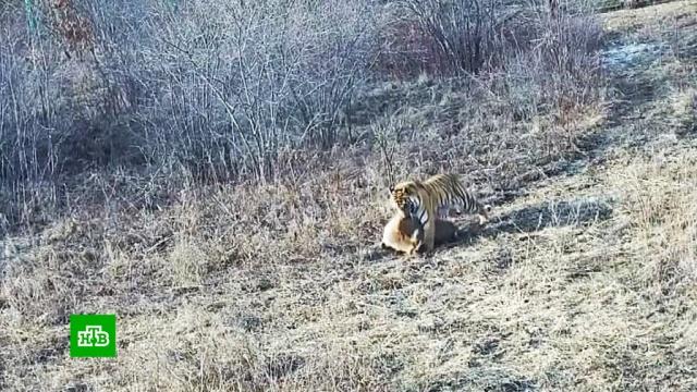 Вприморском центре диких животных впервые вистории воссоединилось тигриное семейство.Приморье, животные, тигры.НТВ.Ru: новости, видео, программы телеканала НТВ