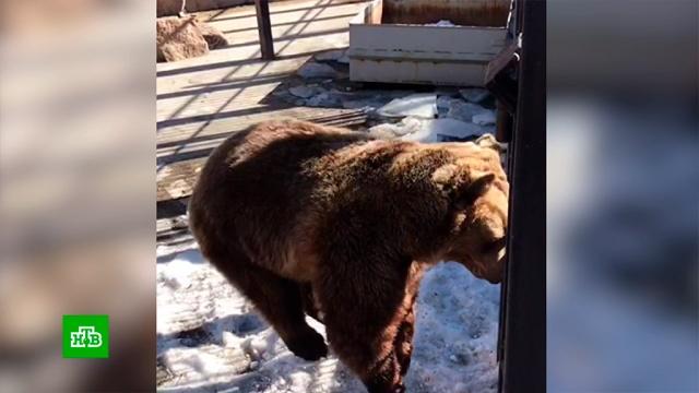 На Урале медведица дождалась весны изапрыгала от радости.Челябинск, весна, животные, зоопарки, медведи.НТВ.Ru: новости, видео, программы телеканала НТВ