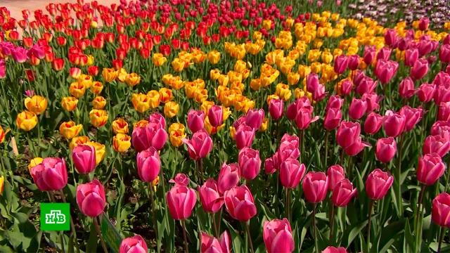 Десятки тысяч тюльпанов распустились в Ялте.Крым, цветы, Ялта.НТВ.Ru: новости, видео, программы телеканала НТВ