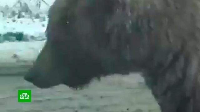 Устроивший променад медведь создал пробку на дороге в Камчатке.Камчатка, медведи, курьезы.НТВ.Ru: новости, видео, программы телеканала НТВ