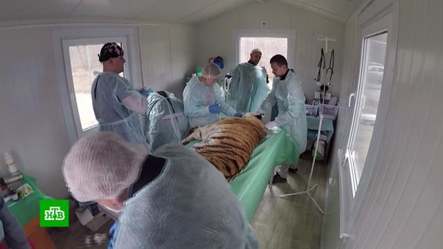 В Приморье умерла раненная браконьерами тигрица.животные, Приморье, тигры.НТВ.Ru: новости, видео, программы телеканала НТВ