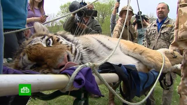 На Дальнем Востоке выпустили на волю двух спасенных амурских тигров.Дальний Восток, Приморье, животные, тигры.НТВ.Ru: новости, видео, программы телеканала НТВ