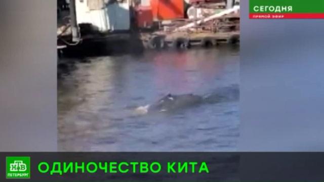Заблудившийся под Выборгом кит заплыл в Ленобласть через Финляндию.Ленинградская область, Финский залив, животные.НТВ.Ru: новости, видео, программы телеканала НТВ