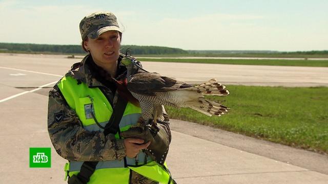 Домодедовские ястребы защищают самолеты от столкновений сптицами.авиационные катастрофы и происшествия, авиация, аэропорты, птицы, самолеты.НТВ.Ru: новости, видео, программы телеканала НТВ