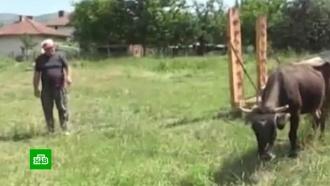 ВБолгарии могут усыпить корову за незаконное пересечение границы ЕС