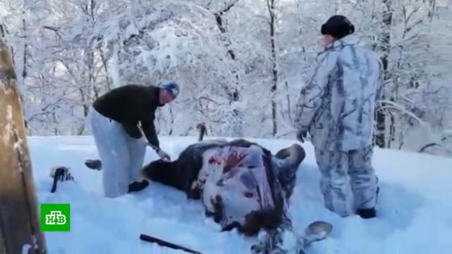 Руководителей нацпарка на Волге уличили ворганизации охоты «для своих».животные, охота и рыбалка, скандалы.НТВ.Ru: новости, видео, программы телеканала НТВ