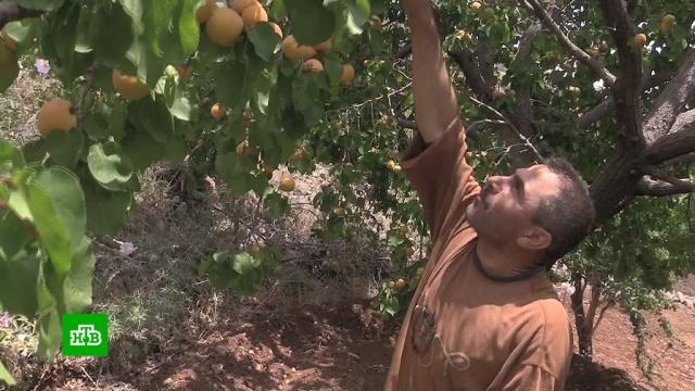 Возвращение мирной жизни: под Дамаском восстановили фруктовую ферму.Сирия, войны и вооруженные конфликты, сельское хозяйство, урожай.НТВ.Ru: новости, видео, программы телеканала НТВ