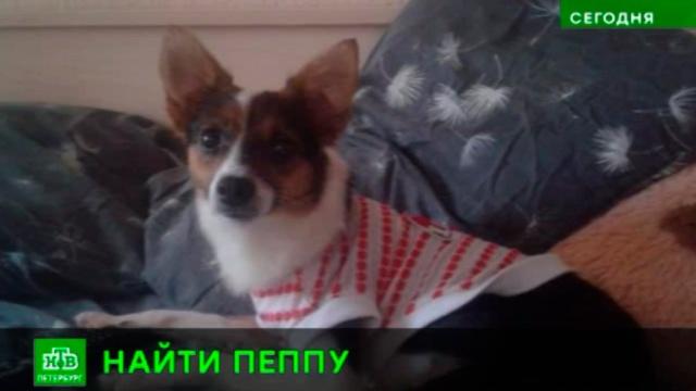 Петербургские зоозащитники разыскивают пропавшую собаку-лекаря.Санкт-Петербург, животные, собаки.НТВ.Ru: новости, видео, программы телеканала НТВ