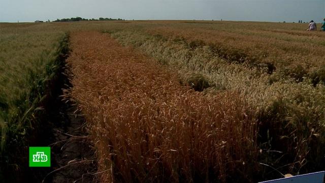 Глава Минсельхоза не исключил пересмотра прогноза по урожаю.зерно, Минсельхоз РФ, сельское хозяйство, урожай.НТВ.Ru: новости, видео, программы телеканала НТВ