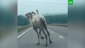 Сбежавший из цирка верблюд спровоцировал ДТП в Тульской области